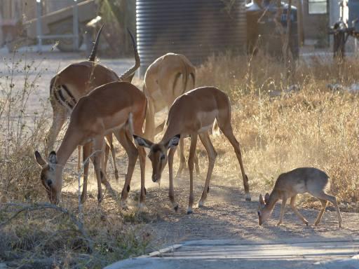 local Impala