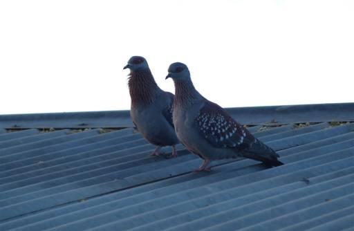 Rock, or Speckled, Pigeons