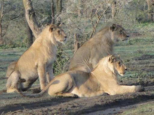 juvenile males from  the Masek Pride
