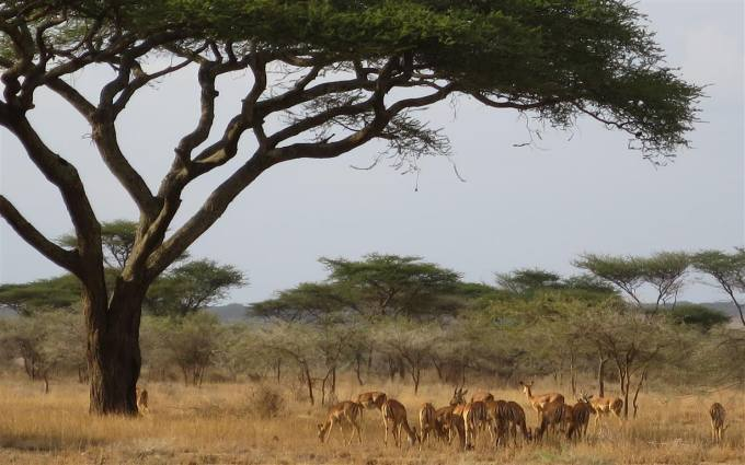 Blending in with dry season colour's the impala stay close to the lodge