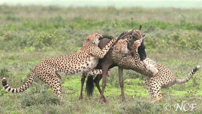 Cameraman Nick Ball captured this photo of a cheetah kill, showing the remarkable flexibility of the cheetah.