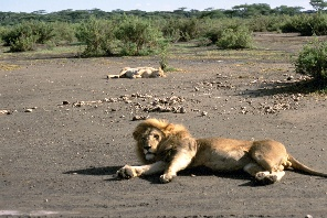 Lions at the Causeway