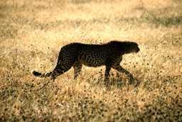 Cheetah - photo by David Marsh